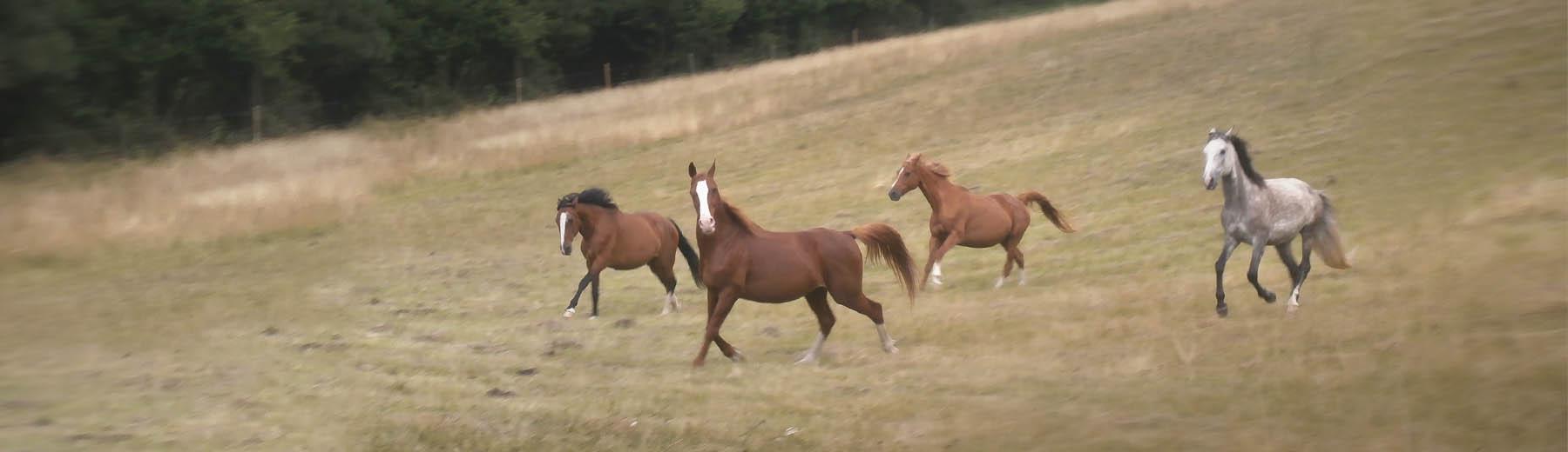 Les chevaux au galop